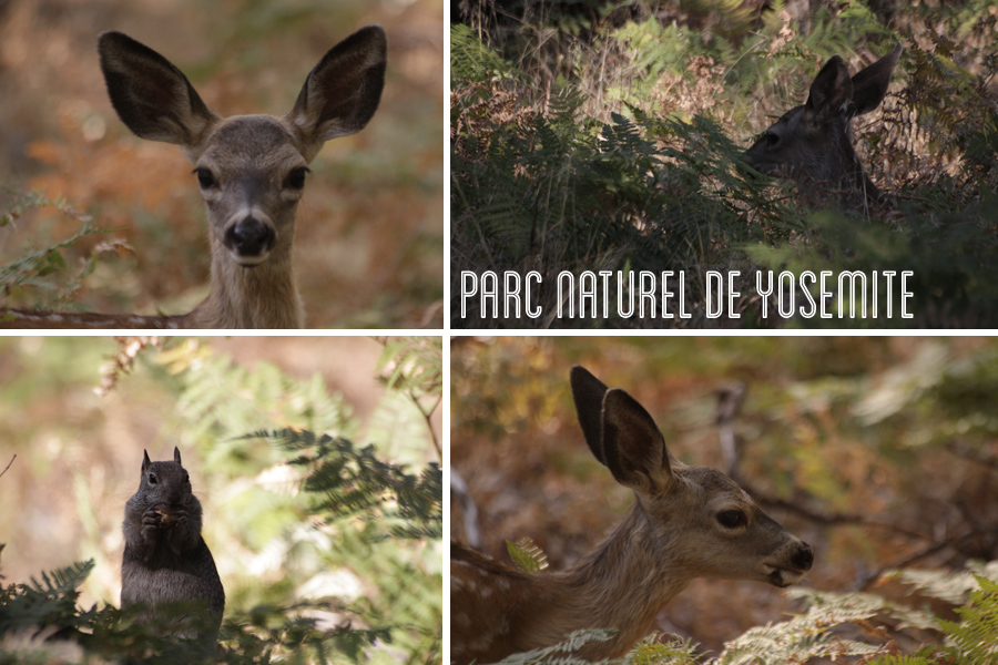 Yosemite parc naturel, photo d'animaux. Trip USA