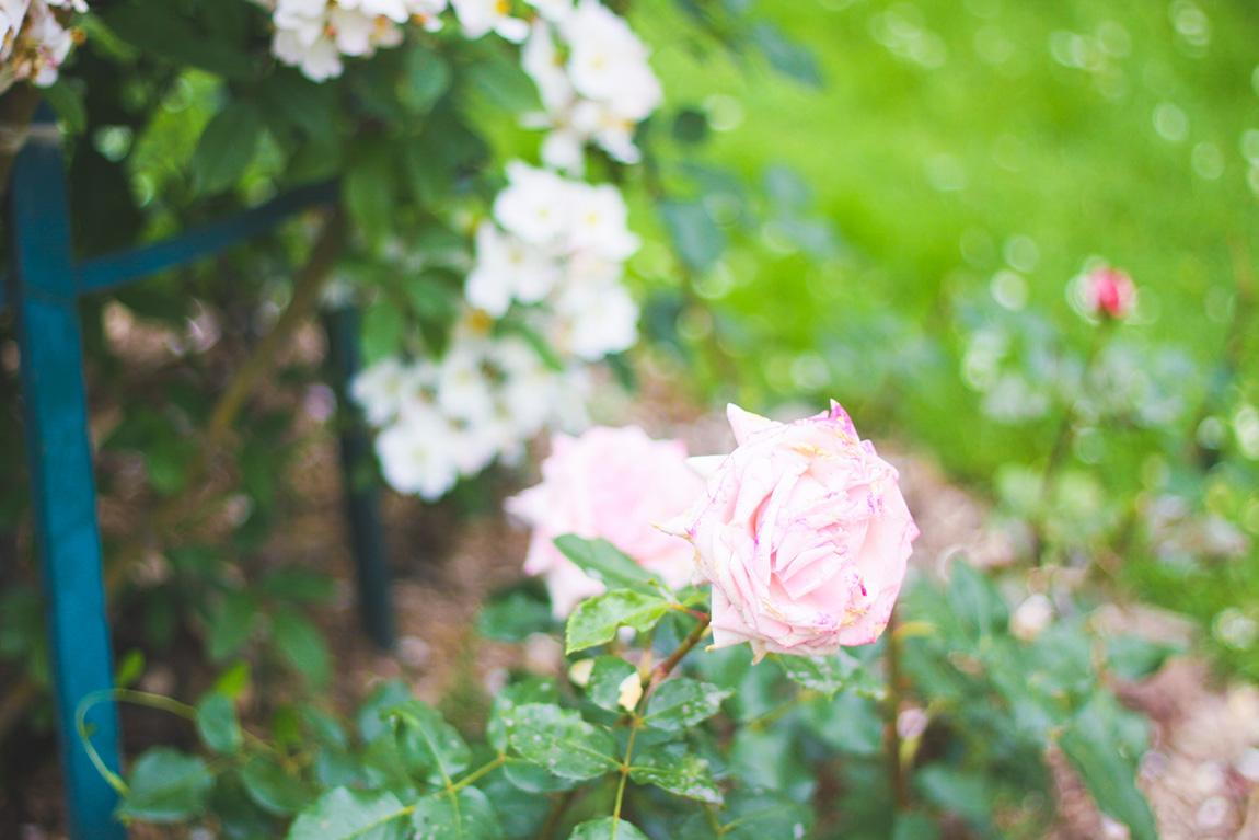 Jardin des plantes, Jardin des roses, fleur pastel - Blog Lifestyle Dollyjessy