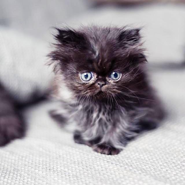 Chaton persan adorable